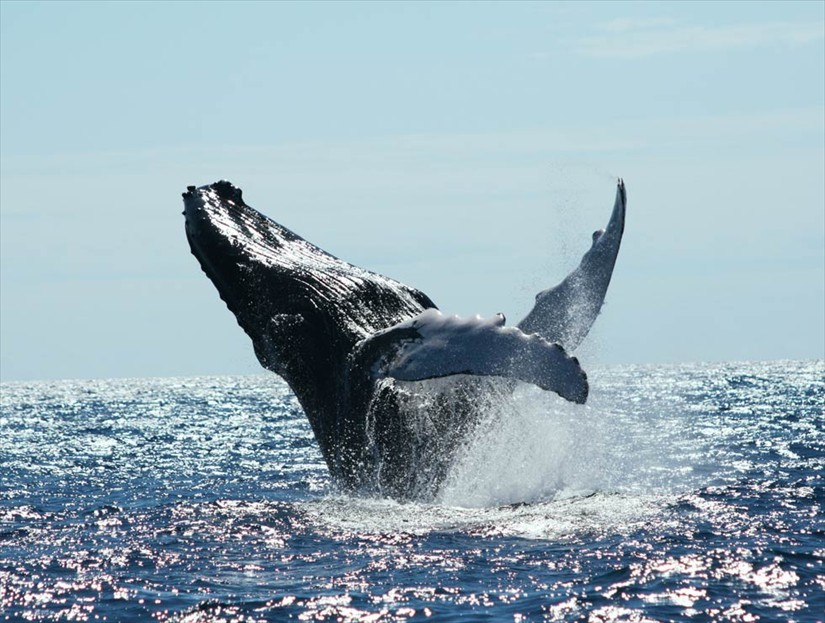Whale Watching Tour in Samana Dominican Republic.