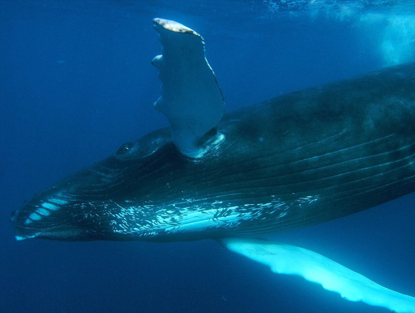 Humpback Whale Watching Tours in Samana.
