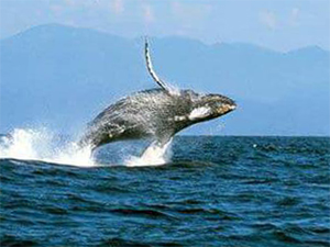 Samana Whale Watching Tours for your Cruise Ship. Whale Watching Tours for Cruise Ship in Samana Dominican Republic.